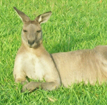 an Eastern Grey kangaroo reclining on the grass with its head raised.